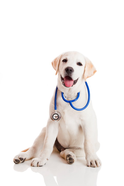 Image of a dog wearing a stethoscope.